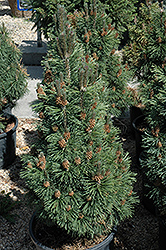 Columnar Mugo Pine (Pinus mugo 'Columnaris') at Town And Country Gardens