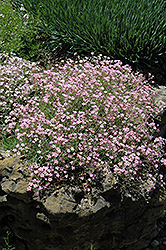 Pink Creeping Baby's Breath (Gypsophila repens 'Rosea') at Town And Country Gardens