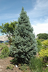 Upright Colorado Spruce (Picea pungens 'Fastigiata') at Town And Country Gardens