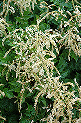 Misty Lace Goatsbeard (Aruncus 'Misty Lace') at Town And Country Gardens