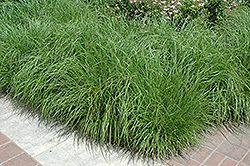 Fountain Grass (Pennisetum alopecuroides) at Town And Country Gardens