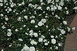 White Meidiland® Rose (Rosa 'Meicoublan') at Town And Country Gardens