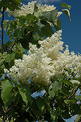 Ivory Silk Tree Lilac (tree form) (Syringa reticulata 'Ivory Silk (tree form)') at Town And Country Gardens