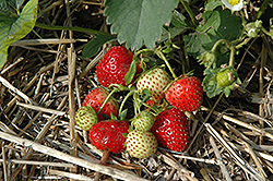 Everbearing Strawberry (Fragaria 'Everbearing') at Town And Country Gardens