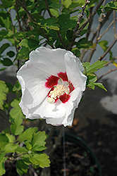 Red Heart Rose Of Sharon (Hibiscus syriacus 'Red Heart') at Town And Country Gardens