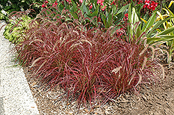 Fireworks Fountain Grass (Pennisetum setaceum 'Fireworks') at Town And Country Gardens