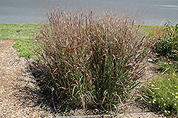 Prairie Fire Red Switch Grass (Panicum virgatum 'Prairie Fire') at Town And Country Gardens