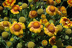 Arizona Apricot Blanket Flower (Gaillardia x grandiflora 'Arizona Apricot') at Town And Country Gardens