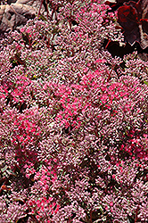 Rosy Glow Stonecrop (Sedum 'Rosy Glow') at Town And Country Gardens