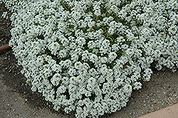 Clear Crystal White Sweet Alyssum (Lobularia maritima 'Clear Crystal White') at Town And Country Gardens