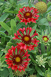 Commotion Frenzy Blanket Flower (Gaillardia x grandiflora 'Commotion Frenzy') at Town And Country Gardens