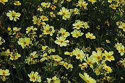 Full Moon Tickseed (Coreopsis 'Full Moon') at Town And Country Gardens