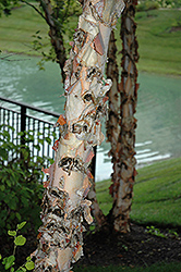River Birch (Betula nigra) at Town And Country Gardens