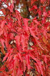 Amur Maple (tree form) (Acer ginnala '(tree form)') at Town And Country Gardens