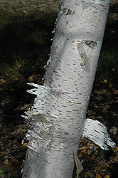 Paper Birch (Betula papyrifera) at Town And Country Gardens