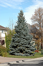 Baby Blue Blue Spruce (Picea pungens 'Baby Blue') at Town And Country Gardens