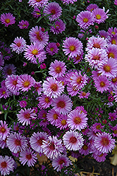 Purple Dome Aster (Aster novae-angliae 'Purple Dome') at Town And Country Gardens