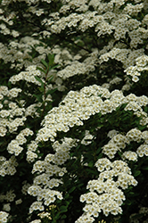 Snowmound Spirea (Spiraea nipponica 'Snowmound') at Town And Country Gardens