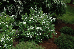 Tor Spirea (Spiraea betulifolia 'Tor') at Town And Country Gardens
