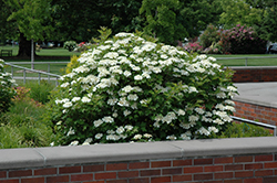 Bailey Compact Highbush Cranberry (Viburnum trilobum 'Bailey Compact') at Town And Country Gardens