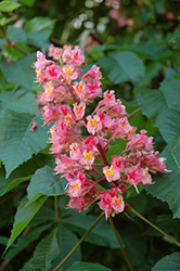 Briotti Red Horse Chestnut (Aesculus x carnea 'Briotti') at Town And Country Gardens