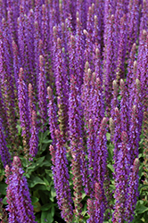 East Friesland Sage (Salvia nemorosa 'East Friesland') at Town And Country Gardens