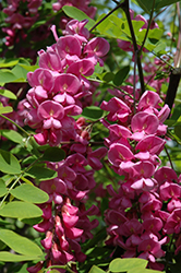 Purple Robe Locust (Robinia pseudoacacia 'Purple Robe') at Town And Country Gardens