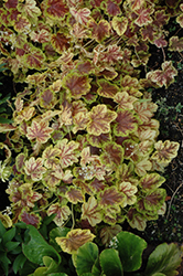 Solar Eclipse Foamy Bells (Heucherella 'Solar Eclipse') at Town And Country Gardens