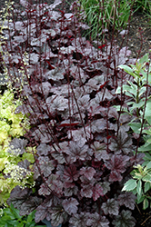 Plum Pudding Coral Bells (Heuchera 'Plum Pudding') at Town And Country Gardens