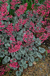 Rave On Coral Bells (Heuchera 'Rave On') at Town And Country Gardens