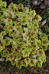 Stoplight Foamy Bells (Heucherella 'Stoplight') at Town And Country Gardens