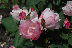 Blushing Knock Out® Rose (Rosa 'Radyod') at Town And Country Gardens