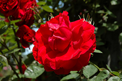Ramblin' Red Rose (Rosa 'Ramblin' Red') at Town And Country Gardens