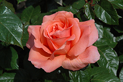 Sweet Fragrance Rose (Rosa 'Sweet Fragrance') at Town And Country Gardens