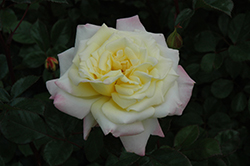 Music Box Rose (Rosa 'BAIbox') at Town And Country Gardens