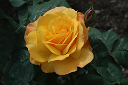 Good As Gold Rose (Rosa 'WEKgobafa') at Town And Country Gardens