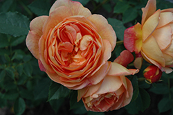 Lady Of Shalott Rose (Rosa 'Ausnyson') at Town And Country Gardens