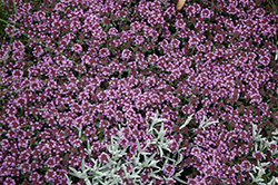 Pink Chintz Creeping Thyme (Thymus praecox 'Pink Chintz') at Town And Country Gardens