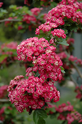 Toba Hawthorn (Crataegus x mordenensis 'Toba') at Town And Country Gardens