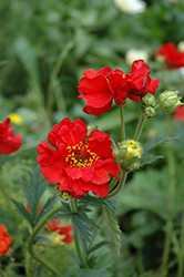 Mrs. Bradshaw Avens (Geum 'Mrs. Bradshaw') at Town And Country Gardens