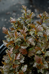 Tiny Wine® Ninebark (Physocarpus opulifolius 'SMPOTW') at Town And Country Gardens