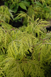 Lemony Lace® Elder (Sambucus racemosa 'SMNSRD4') at Town And Country Gardens