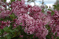 Bloomerang® Purple Lilac (Syringa 'Penda') at Town And Country Gardens