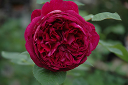 Falstaff Rose (Rosa 'Ausverse') at Town And Country Gardens