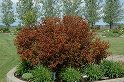 Coppertina® Ninebark (Physocarpus opulifolius 'Mindia') at Town And Country Gardens