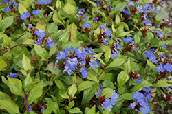 Plumbago (Ceratostigma plumbaginoides) at Town And Country Gardens