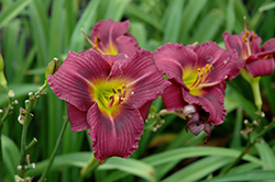 Little Grapette Daylily (Hemerocallis 'Little Grapette') at Town And Country Gardens