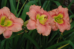Elegant Candy Daylily (Hemerocallis 'Elegant Candy') at Town And Country Gardens