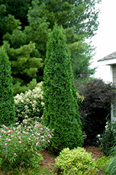 North Pole® Arborvitae (Thuja occidentalis 'Art Boe') at Town And Country Gardens