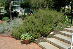 Rosemary (Rosmarinus officinalis) at Town And Country Gardens